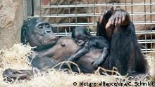 Tierbabys Bonobo-Baby