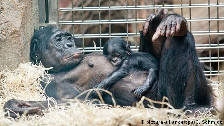 Baby animals: Bonobos at Frankfurt Zoo
