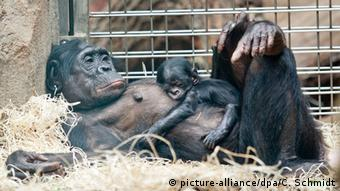 A baby bonobo is sleeping on the belly of her mother in a zoo cage (Photo: Christoph Schmidt/dpa).