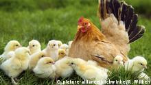 Zwerg-Huhn, Zwerghuhn (Gallus gallus f. domestica), Zwerghuhn-Glucke mit Kueken, Deutschland, Nordrhein-Westfalen | bantam (Gallus gallus f. domestica), hen with chicks, Germany, North Rhine-Westphalia