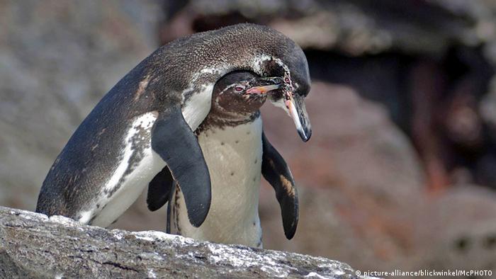 Galapagospinguin