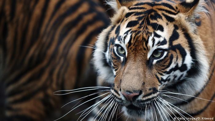 Symbolbild - Sumatra-Tiger (Getty Images/D. Kitwood)