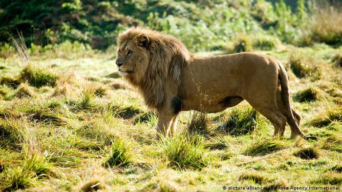 Symbolbild - Löwe in Afrika