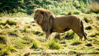 Τα εναπομείναντα 23.000 περήφανα ζώα που ζουν ελεύθερα στις σαβάνες της Αφρικής, νότια της Σαχάρας, απειλούνται και αυτά με εξαφάνιση