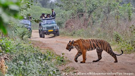 Tiger and hunters in a car