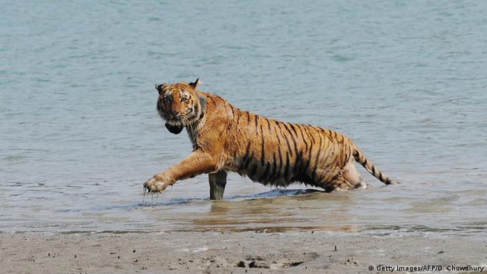 Tiger in den Sundarbans (Getty Images/AFP/D. Chowdhury)