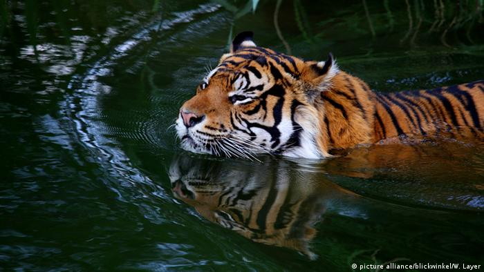 Tiger Wasser Schwimmen