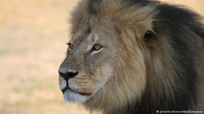 Simbabwe Cecil der Löwe