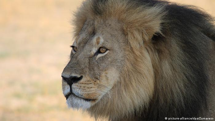 Photo: Cecil the lion in Hwange national park, Zimbabwe (picture-alliance/dpa/Zumaress)