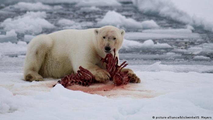 Wild polar bear eating its prey