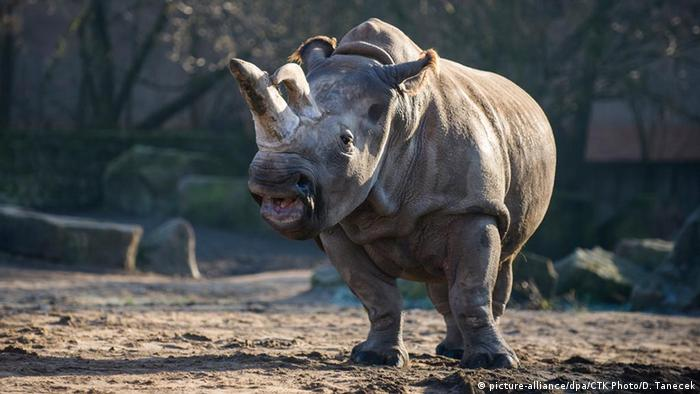 Nabire north white rhino