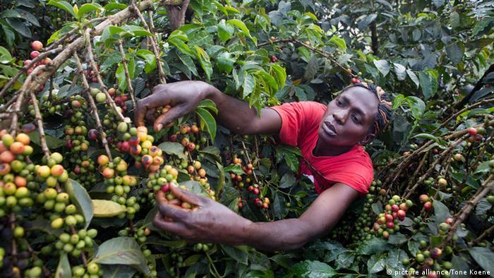 Afrika Kaffeeanbau Illustration