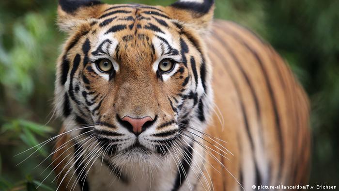 Tigerin zieht in Großkatzen-Station