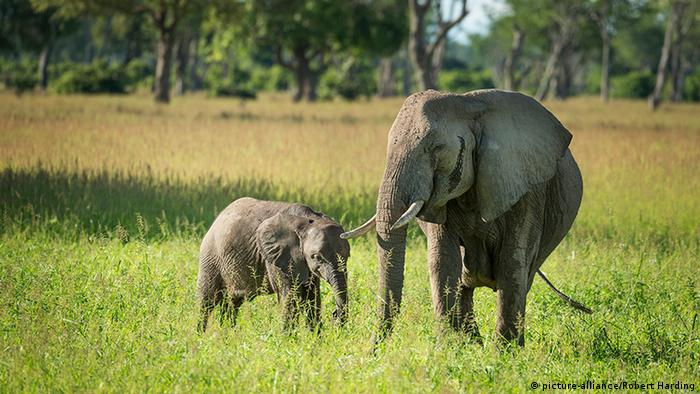 Sambia Elefant Mutter Kind (picture-alliance/Robert Harding)
