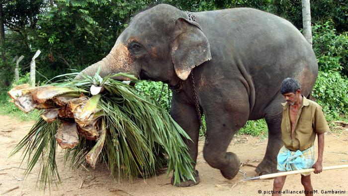 Sri Lanka - asiatischer Arbeitselefant