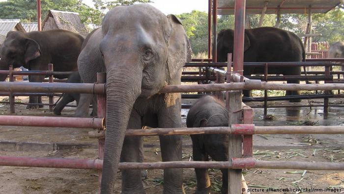 Thailand Asiatischer Elefant