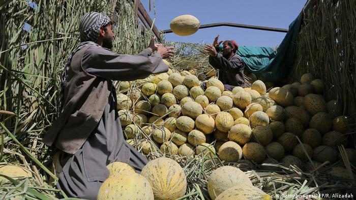 Afghanistan Landwirtschaft Melonen (Getty Images/AFP/R. Alizadah)