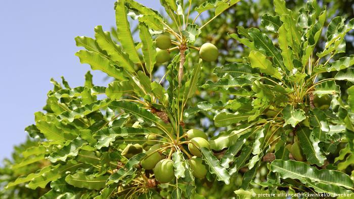Karitebaum Afrikanischer Butterbaum