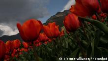 Tulips are seen in full bloom in Indira Gandhi Memorial Tulip garden in Srinagar
