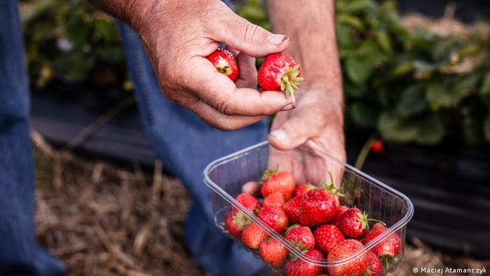 Bildergalerie Erdbeersaison - Polnische Arbeitskräfte Bildergalerie