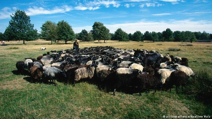 Овцы в Люнебургской пустоши