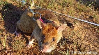 Mine-sniffing rat in Cambodia. (Photo: Michael Sullivan)