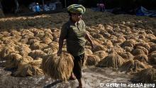 El Nino Indonesien Reisernte Reis Dürre