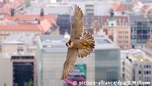 ARCHIV - Ein Wanderfalke (Falco Peregrinus) fliegt am 16.05.2013 über der City von Leipzig (Sachsen). Natürliche Feinde sollen zukünftig die zur Plage gewordenen Tauben in Goslar (Niedersachsen) dezimieren. Die Stadt hoffe, dass künftig Wanderfalken und Uhus die verwilderten Haustauben jagen. Foto: Sebastian Willnow/dpa (zu lni Falke und Uhu sollen Goslars Tauben jagen vom 16.05.2015) +++(c) dpa - Bildfunk+++