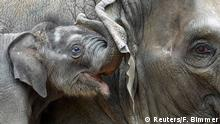 Four-week-old elephant Anjuli cuddles with his brother Assam in Hagenbeck Zoo in Hamburg, northern Germany August 12, 2015. REUTERS/Fabian Bimmer