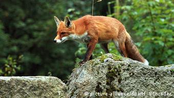 H κόκκινη αλεπού