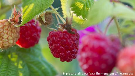 Himbeeren Pflanze (picture alliance/dpa Themendienst/A. Warnecke)