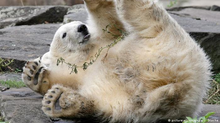 polar bear at Berlin zoo in Germany (picture-alliance/dpa/S. Stache)
