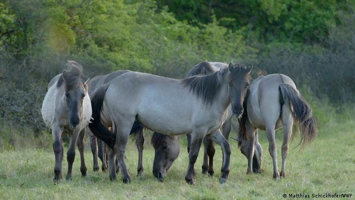 Все более редкое явление - дикие лошади (снимок сделан в Австрии)