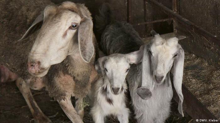 Ziegen und Schafe Stall Palästina Kredite Exclusiv für diesen Beitrag