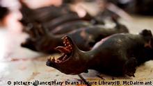 Indonesien Fleisch von Fledermäusen Markt von Tomohon