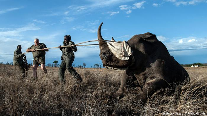 Cuernos sint�ticos: �la salvaci�n de los rinocerontes?