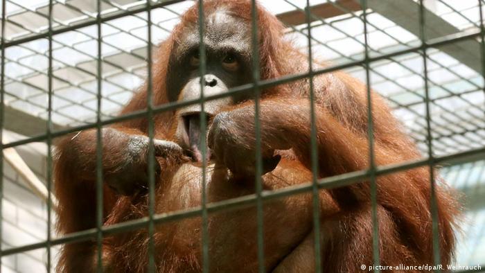 Deutschland, Orang-Utan Weibchen Manggali im Zoo in Duisburg (picture-alliance/dpa/R. Weihrauch)