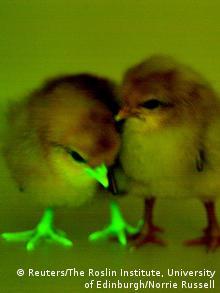 Großbritannien genetisch verändertes Kücken zum Schutz gegen Vogelgrippe