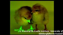 A baby chick, genetically modified to block transmission of bird flu, glows under an ultraviolent light, next to a chick that has not been modified, in this undated handout photo provided by Norrie Russell of The Roslin Institute, University of Edinburgh. Researchers insert a green fluorescent protein into the GMO birds to easily identify them from control birds during experiments and have found a way to potentially reduce deadly bird-flu infections in some egg-laying chickens by genetically engineering the birds not to replicate the virus inside their bodies. REUTERS/Norrie Russell of The Roslin Institute, University of Edinburgh/Handout via Reuters ATTENTION EDITORS - THIS PICTURE WAS PROVIDED BY A THIRD PARTY. REUTERS IS UNABLE TO INDEPENDENTLY VERIFY THE AUTHENTICITY, CONTENT, LOCATION OR DATE OF THIS IMAGE. THIS PICTURE IS DISTRIBUTED EXACTLY AS RECEIVED BY REUTERS, AS A SERVICE TO CLIENTS. FOR EDITORIAL USE ONLY. NOT FOR SALE FOR MARKETING OR ADVERTISING CAMPAIGNS. NO SALES. NO ARCHIVES.