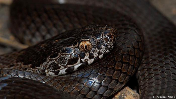 Australian ornamental snake (Photo: Stewart MacDonald)