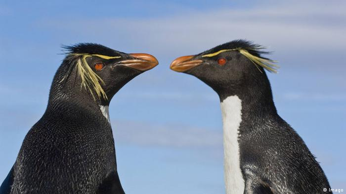 Falkland Inseln Felsenpinguine