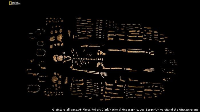 A composite skeleton of Homo naledi surrounded by some of the hundreds of other fossil elements recovered from the Rising Star cave in South Africa