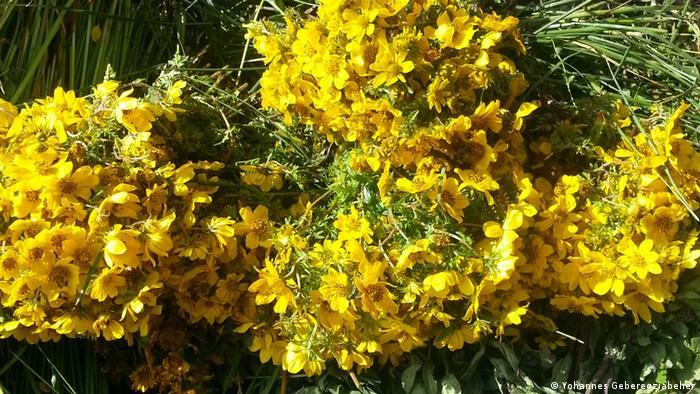 Young Flower Adey Abeba Blumen Äthiopien (Yohannes Geberegziabeher)