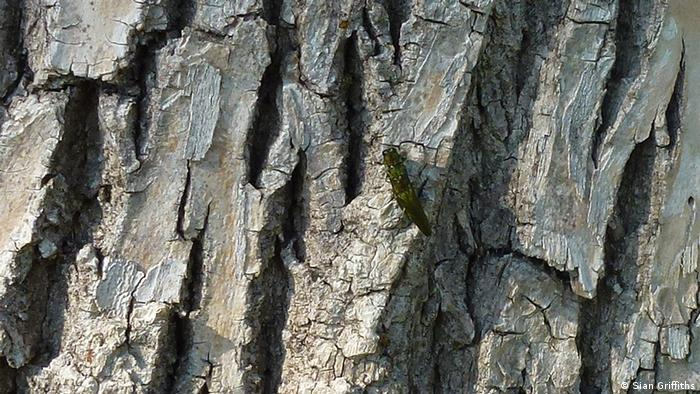 Two Emerald Ash Borers mating on an ash tree, Pinecrest Park, Ottawa.