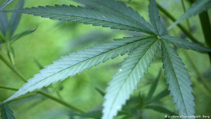 Cannabis sativa plant (Photo: picture-alliance/dpa/O. Berg)