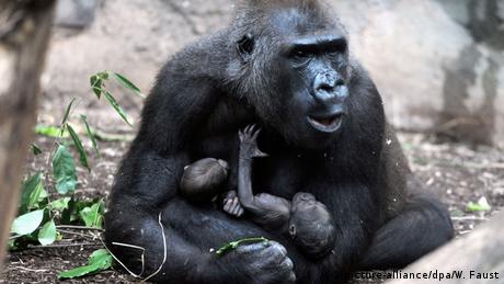 Deutschland BdT Gorilla Dian Zwillinge