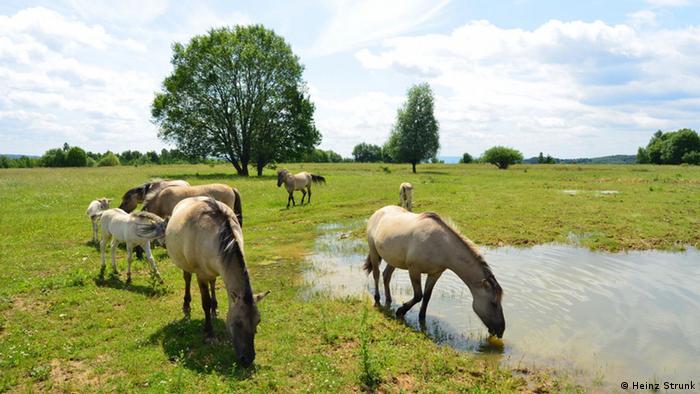 Konik horses grazing (Photo: Heinz Strunk)
