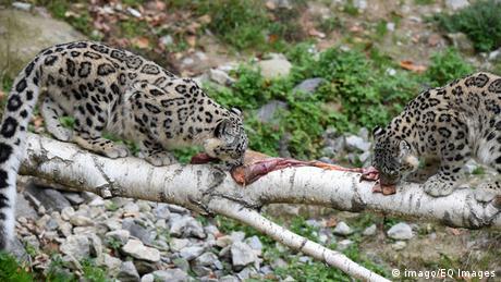 Schweiz Zoo Apero bei Zürich Schneeleoparden Zwillinge Okara und Orya