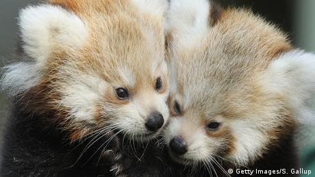Deutschland Zoo Berlin roter Panda Zwillinge