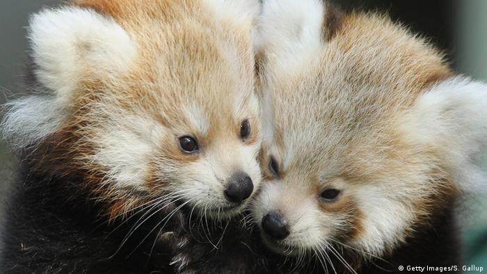 Two baby red pandas